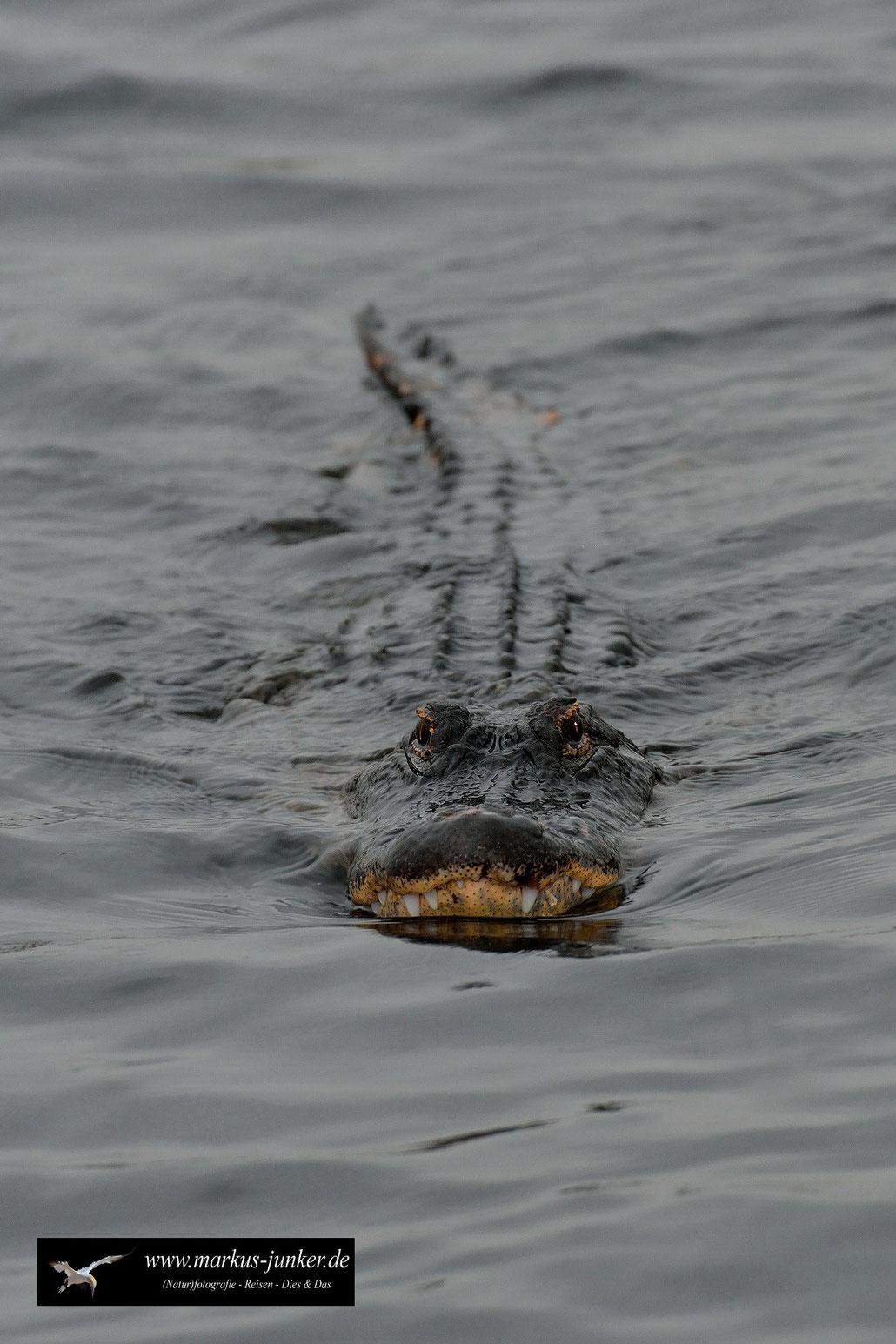 Alligator mississippiensis, Mississippi-Alligator, Alligator, Gator