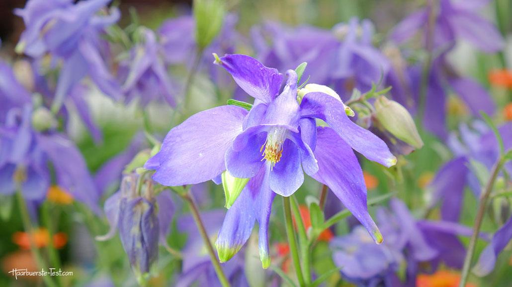 lila blumen, violette blumen
