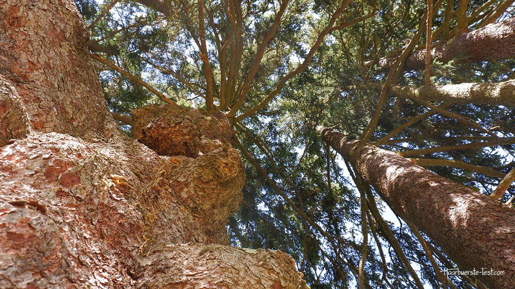 Fichte naturdenkmal