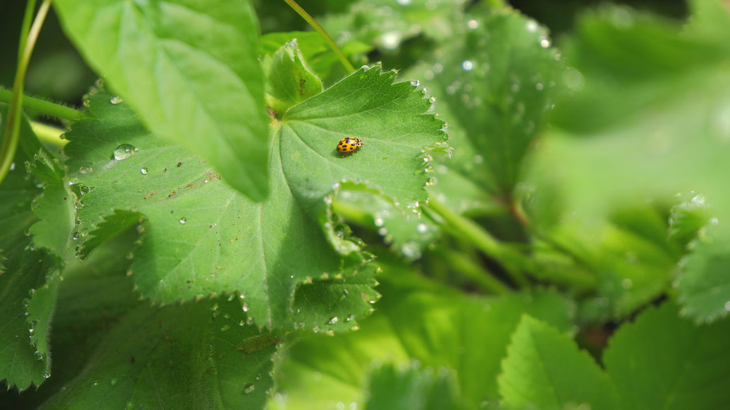 Marienkäfer, Blätter, Regentropfen