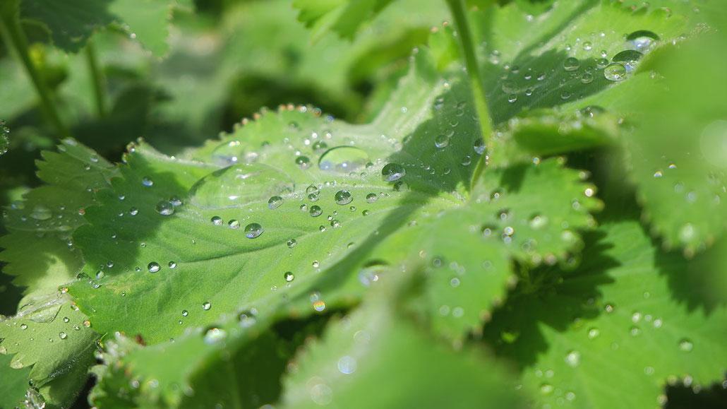 Regentropfen auf Blätter, Blätter mit Regentropfen