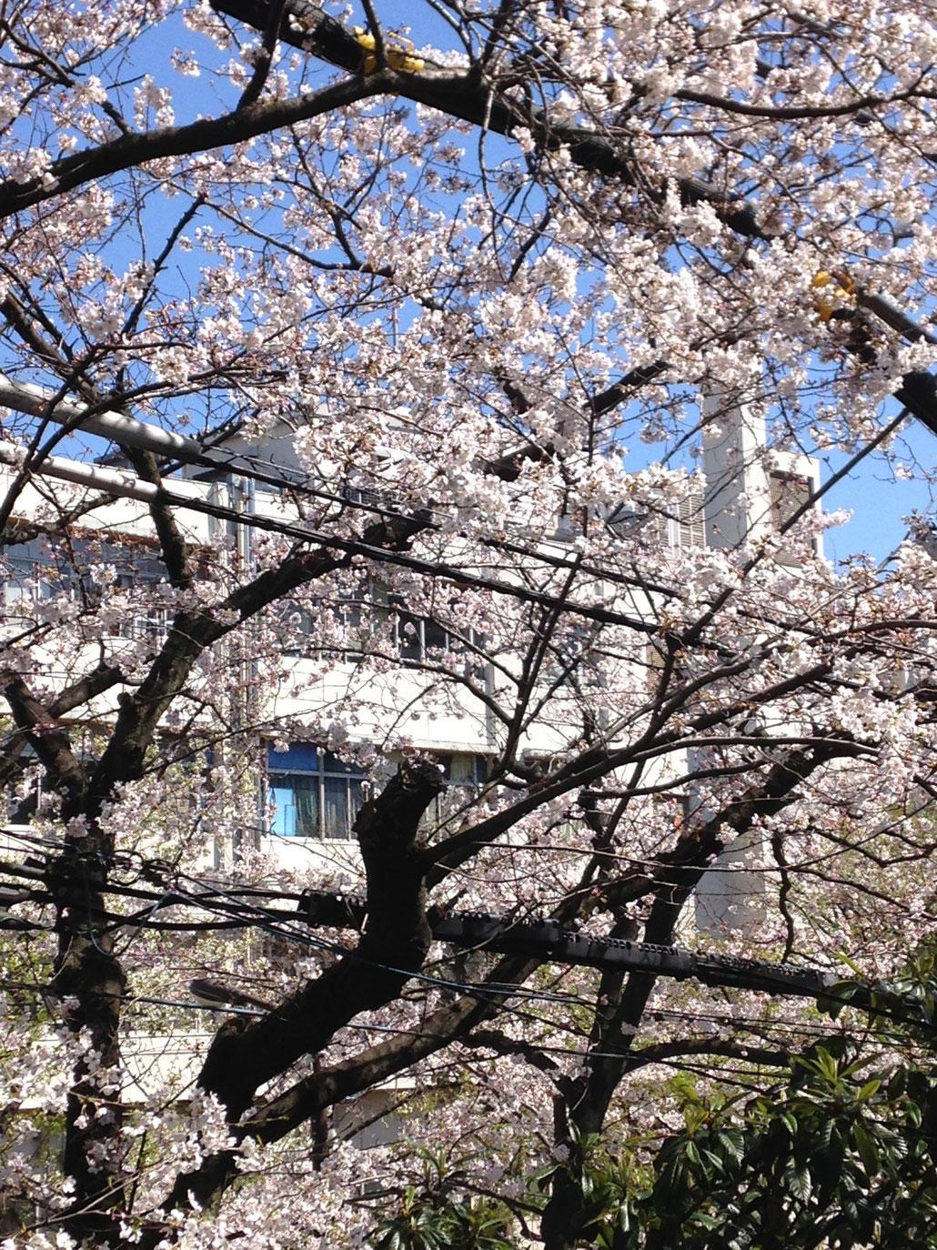 26年の桜 事務所の前です