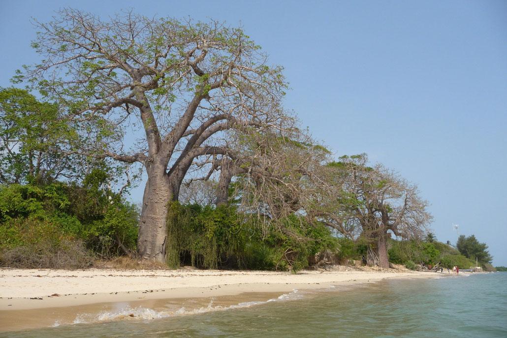 Ein traumhafter Strand Nähe Shimoni mit großen Affenbrotbäumen.