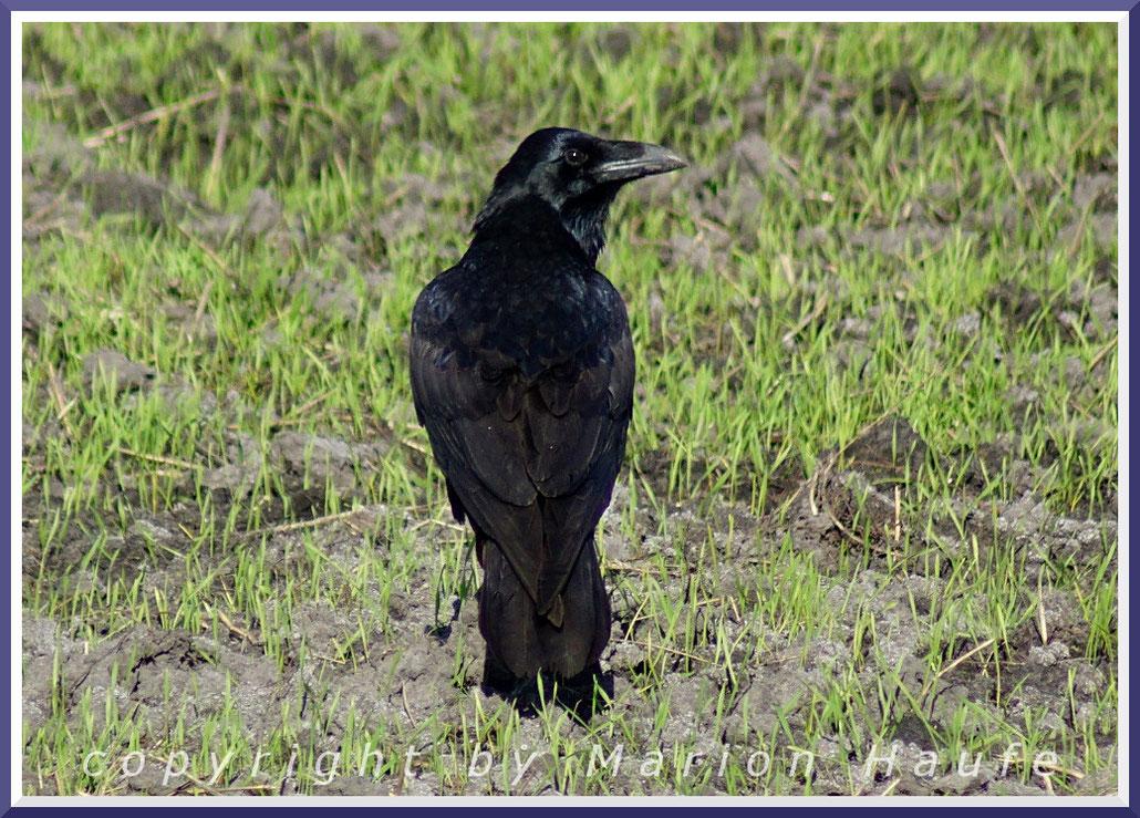 Unser größter Singvogel - Kolkrabe  (Corvus corax)