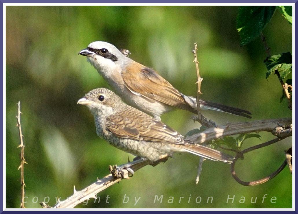 Männlicher Neuntöter mit Jungvogel (Lanius collurio)
