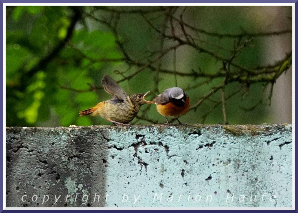 Gartenrotschwanz (Phoenicurus phoenicurus) Jungvogel und Männchen, 24.06.2018, Staaken/Berlin