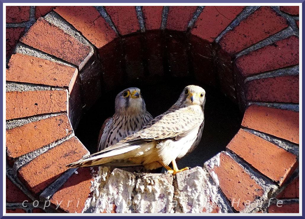 Turmfalken-Pärchen im Horst (Falco tinnunculus), 06.04.2018, Berlin.