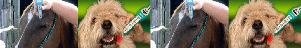 Laserbehandlung beim Pferd und Hund