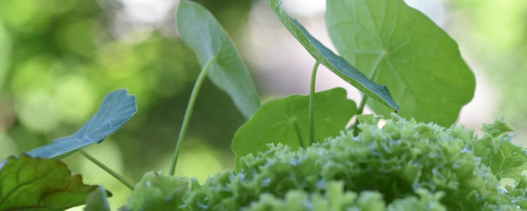 Kapuzinerkresse, Andrea Blum, Urbaner Gartenbau, Balkongarten, Dornbirn, Vorarlberg, Gartenblog, Kräuterblog, Nachhaltigkeitsblog, Kräuterwissen, Gartenkräuter