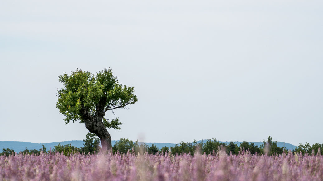 Lavender field with tree in Provence