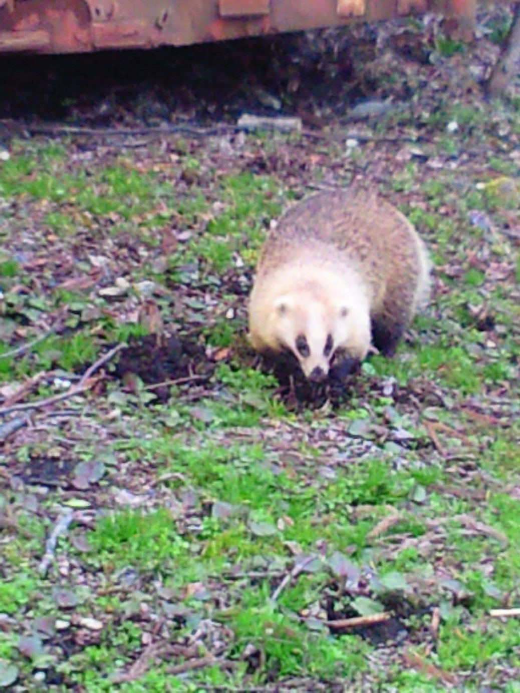 This is a badger. It looks cute but it seems ferocious .