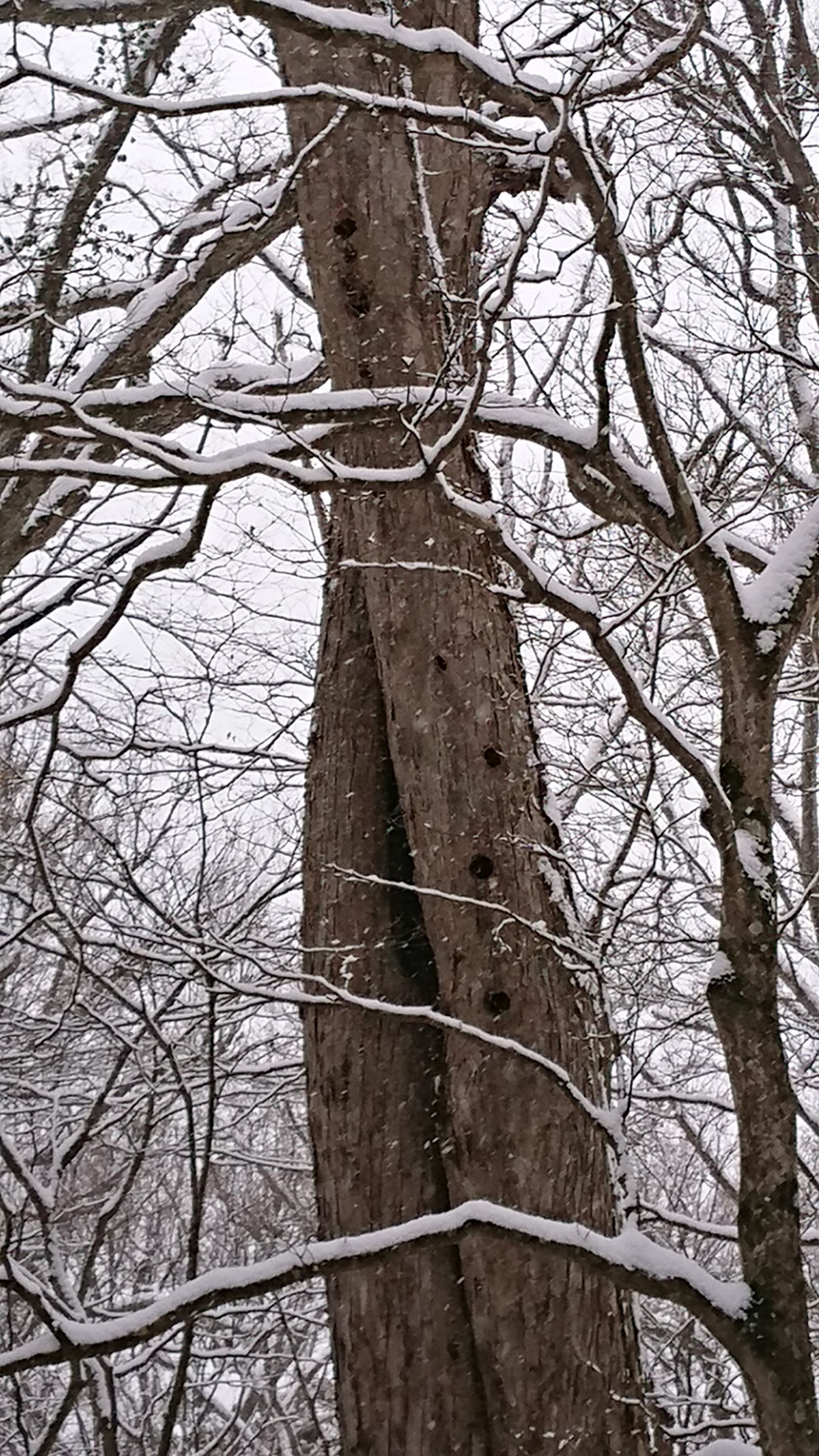 This is Towada shine forest. There are many holes in this tree. Maybe houses of flying squirrel.  As there are no leaves in winter, you can see this.