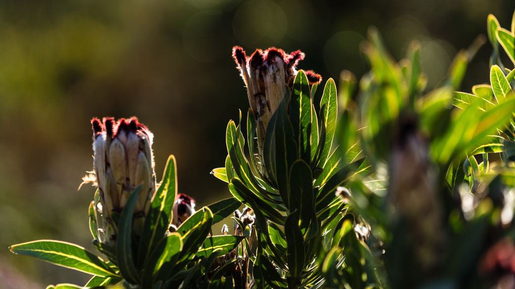 Protea in sunlight at Rooi-Els, South Africa