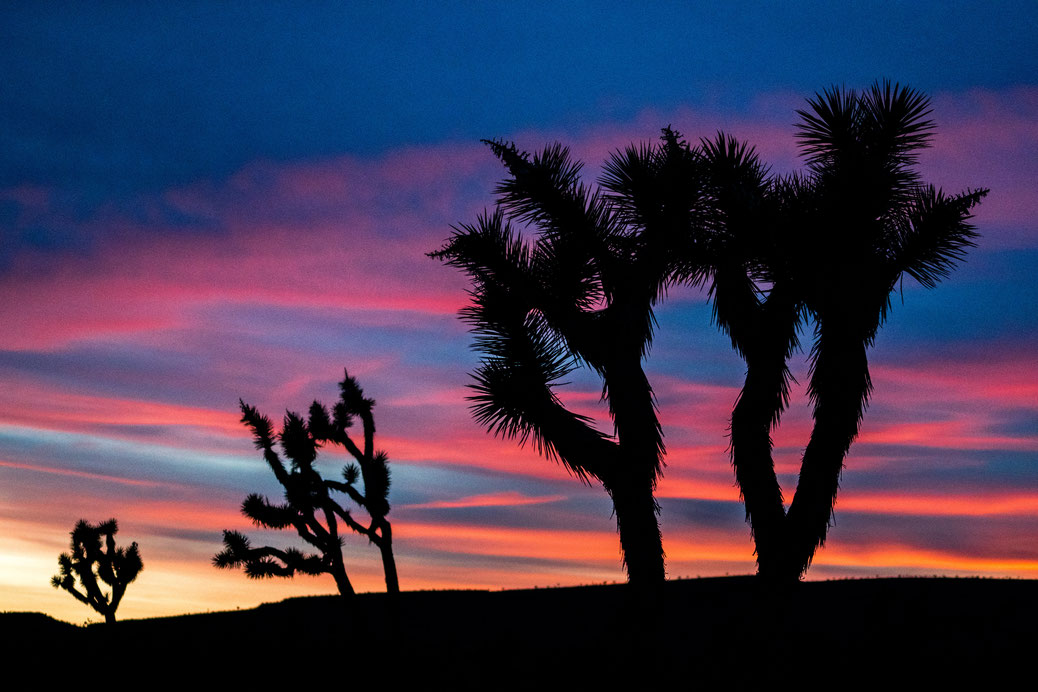 Three Joshua Trees after sunset