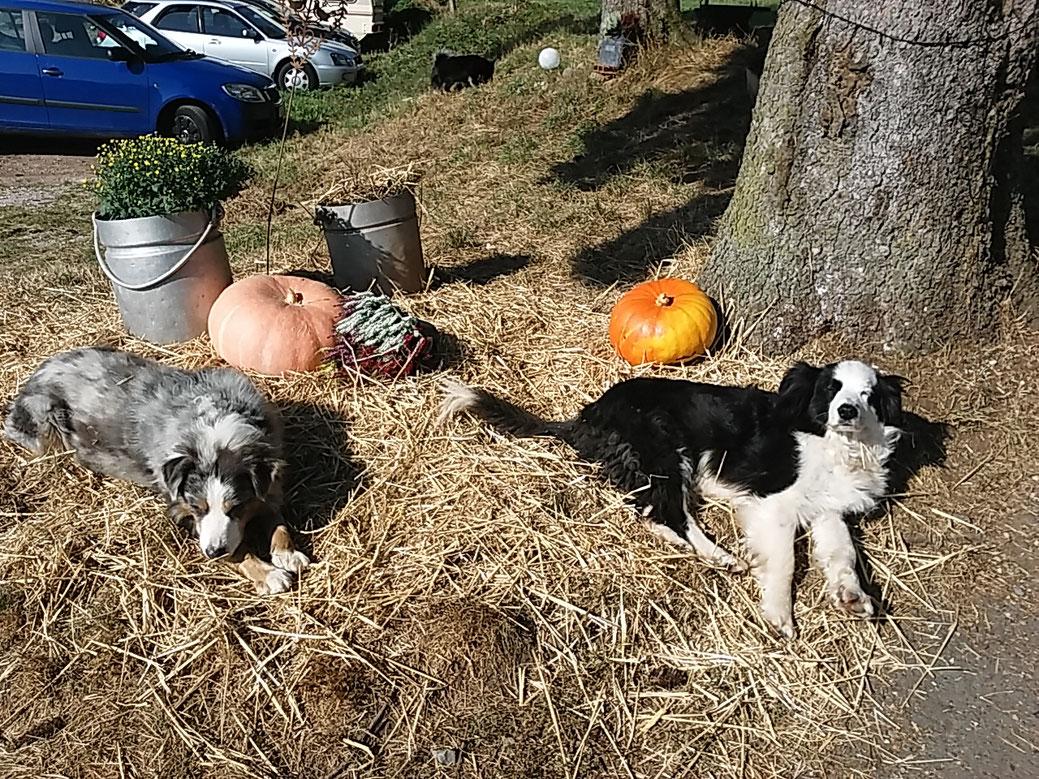 Die Herbstdeko findet allgemeinen Anklang - und lädt anscheinend zum Chillen in der Sonne ein. Meinen jedenfalle Bjössi und Karoo. Vielen Dank an Petra für das Foto.