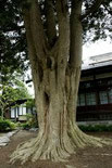 妙経寺のカヤ(みょうきょうじ)