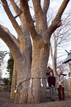 四本松神社のセンノキ