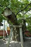 稲垣町の一本タモ