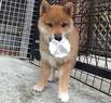 大桃ちゃんの子犬 赤柴メスの画像