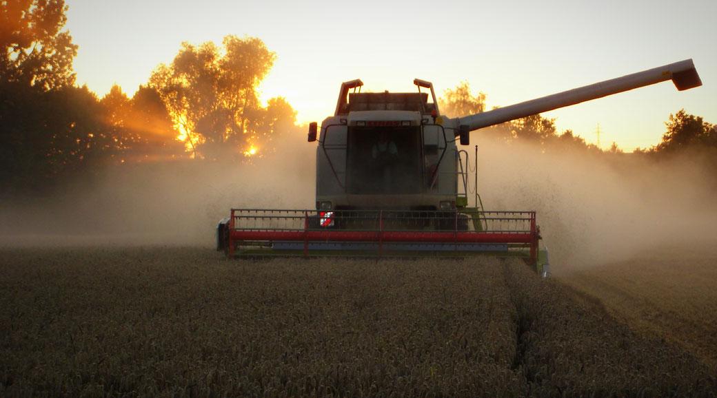 Sonnenuntergang: Mähdrescher bei der Weizenernte