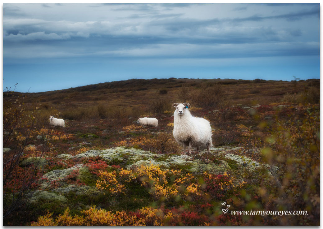 icelandic sheep, iceland, fallcolours