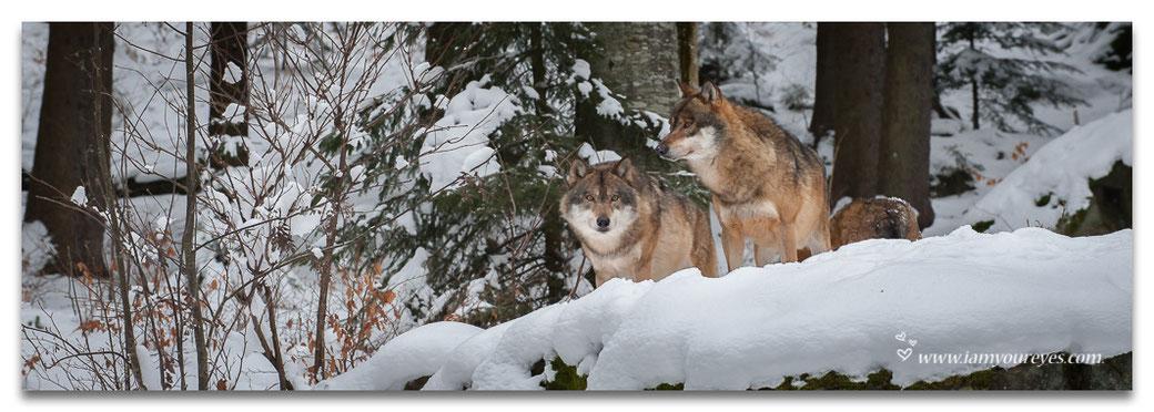 De wolven in Falkenstein