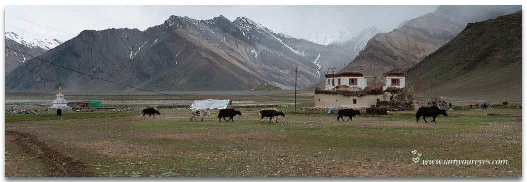 yaks walking in rangdum valley, india