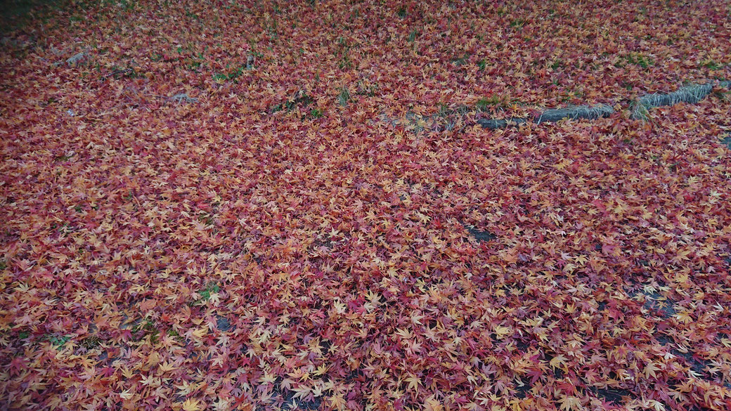 All fallen leaves maple tree