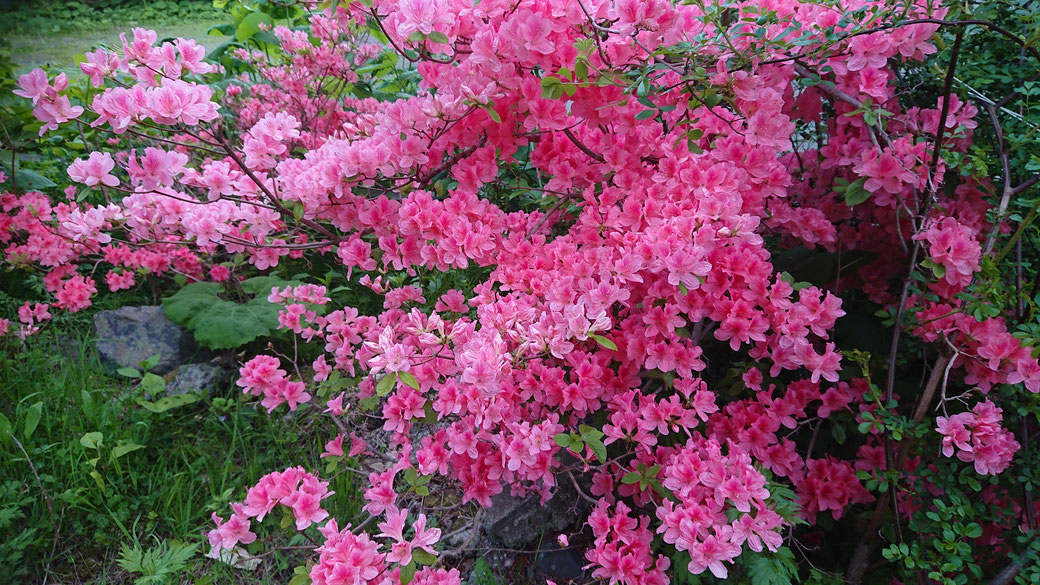 "This is ""Tsutsuji"" tree. It is bloom pink and orange flowers around June.  ""Tsutsuji"" means azalea. This flower is seen in June."