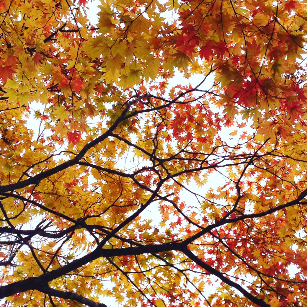 Maple tree. Yellow leaves remain yellow.The red leaves remain red. The color doesn't change on the way.