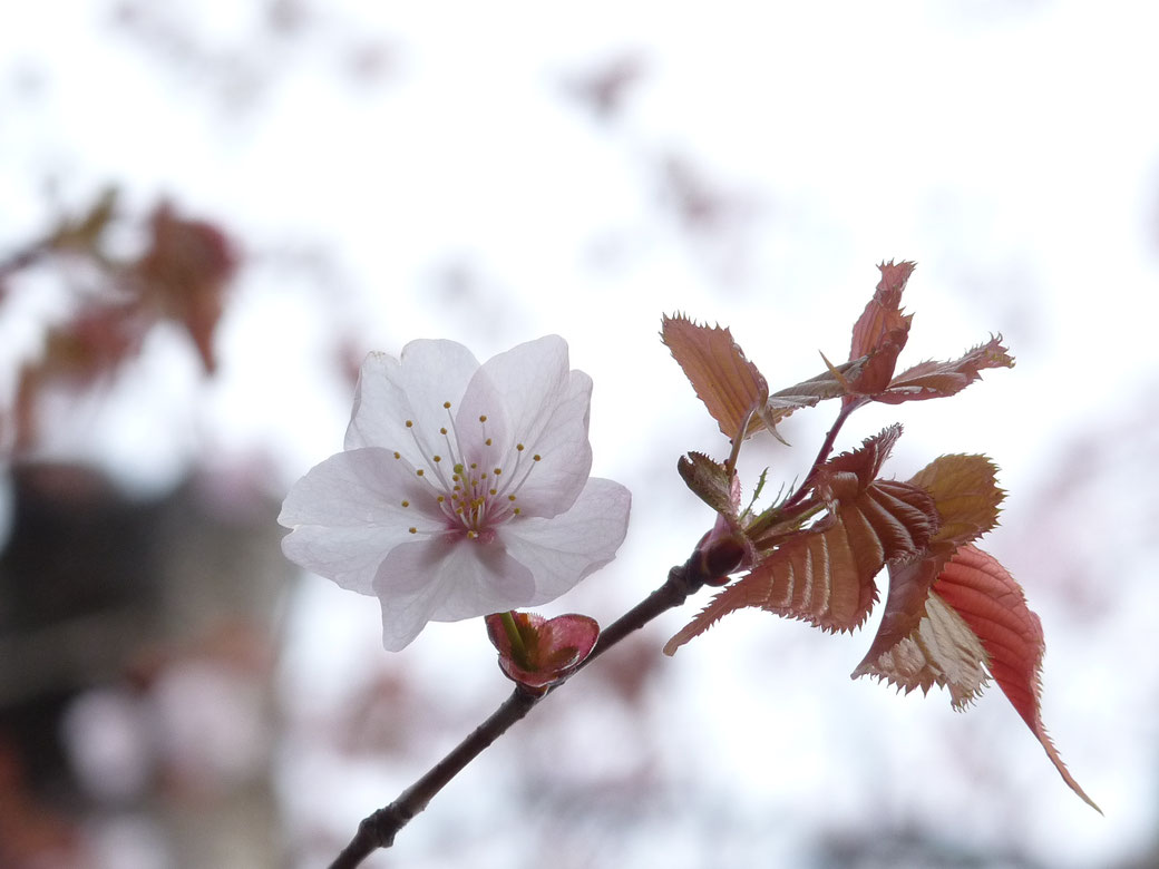 This is wild cherry blossoms. This color is more deep pink than ordinary cherry blossoms. This flower is seen around the middle May.