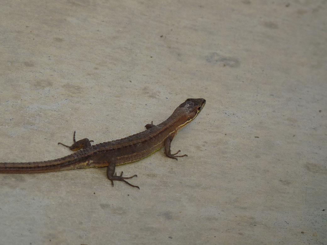 This is small lizard. About 10 centimeter. No danger,they live in the grass.