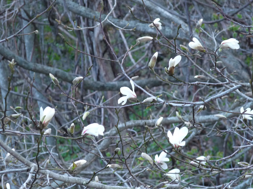 "This flower is a kind of Magnolia. It is called ""KOBUSHI"". When this flower blooms, start working on the rice fields. This is also the flower in the middle of May."