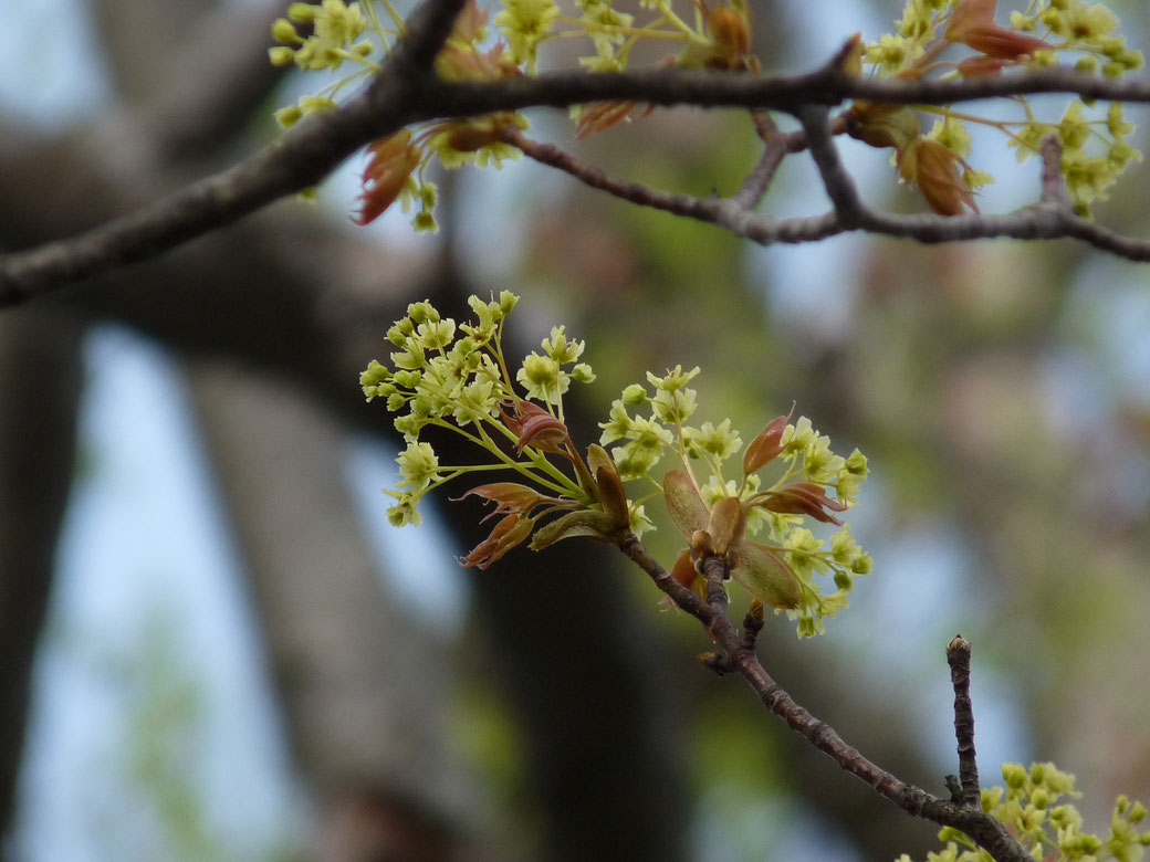 There are maple flower. It blooms in the beginning of May.