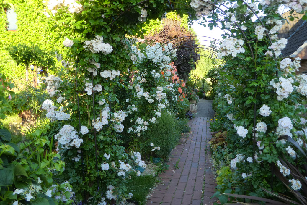 Neue Rosenbögen mit Rosen in voller Blüte Juni 2017
