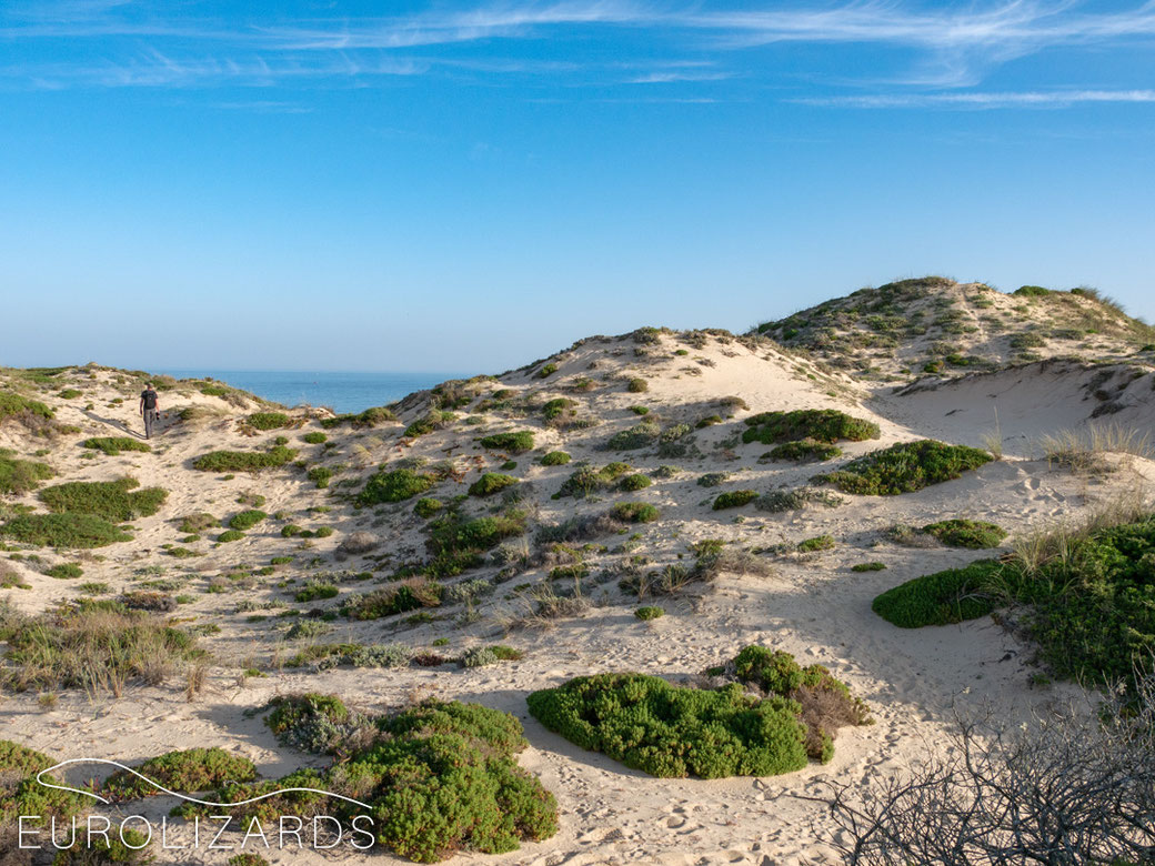 Coastal habitat of Psammodromus algirus, Podarcis carbonelli (Carbonell's Lizard) and Timon lepidus (Ocellated lizard) in Alentejo / Southern Portugal.
