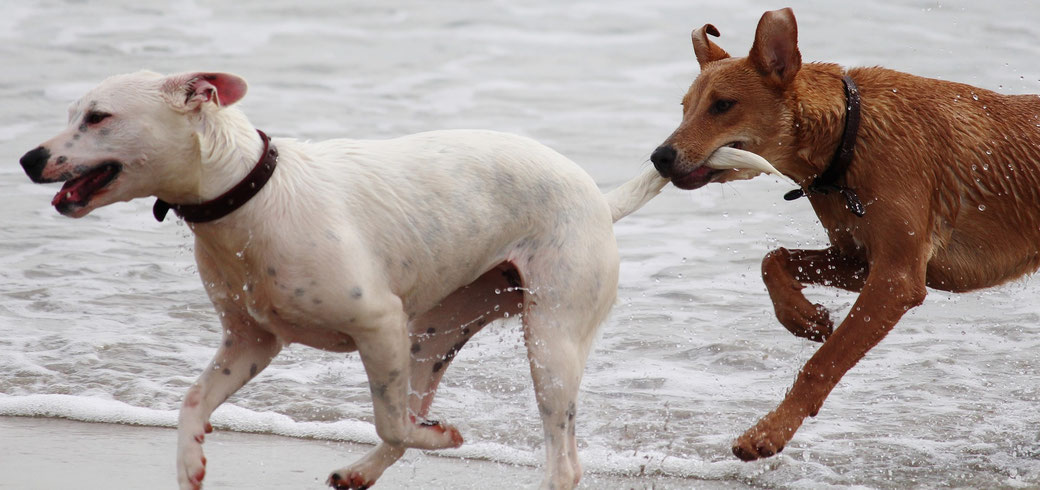 Hundeerziehung bei mehreren Hunden - Strand - fairani