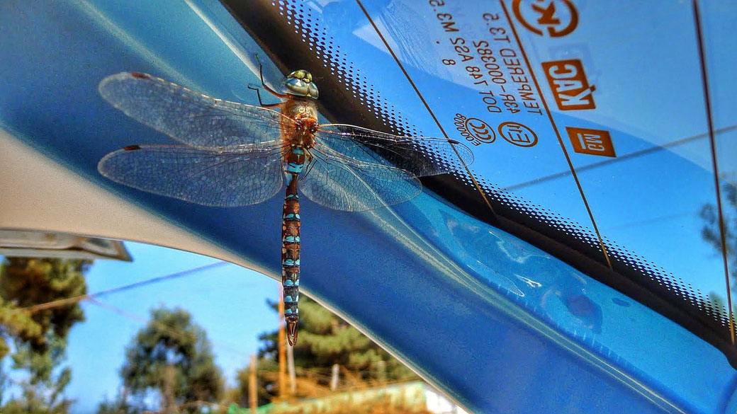 Libelle-blau