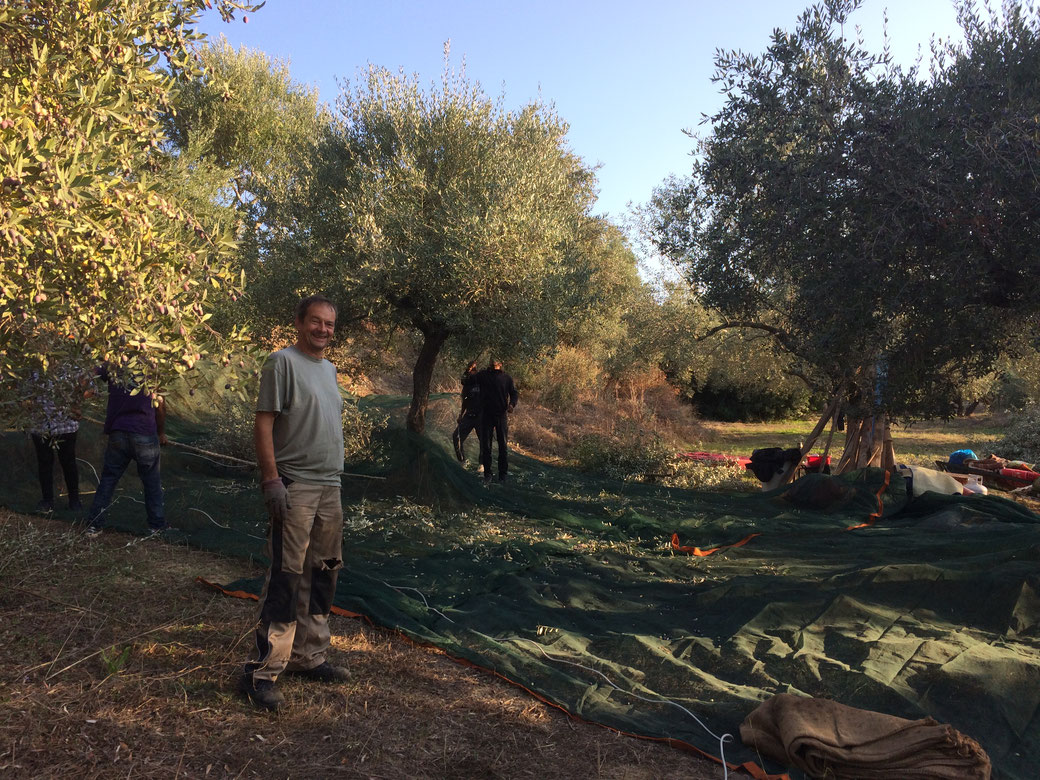 Harvesting olives in Pisaski