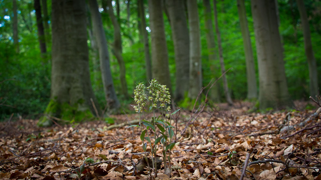 """""""Orchideen Buchenwald in der Eifel"""""""