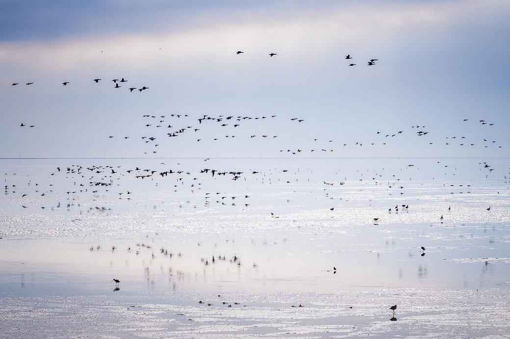 Ganzen boven het Wad - Terschelling © Jurjen Veerman