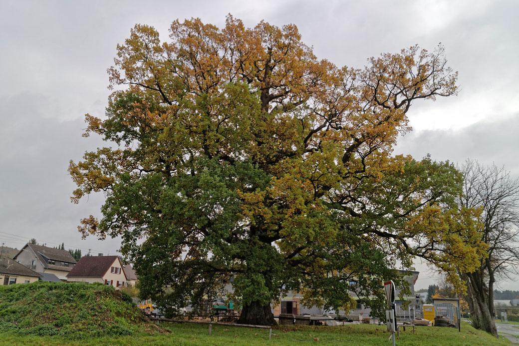 Eiche in Hamm (Sieg)