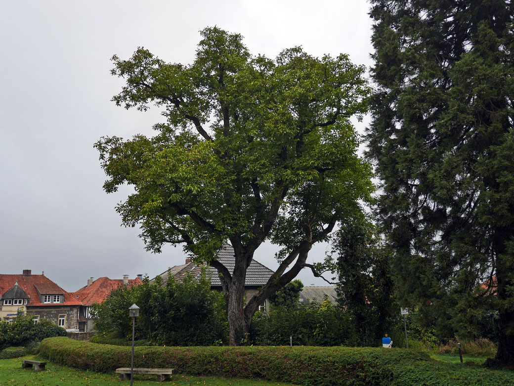 Walnuss beim Kloster Oelinghausen bei Arnsberg