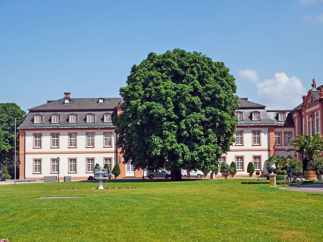 Eiche beim Schloss Bieberich in Wiesbaden