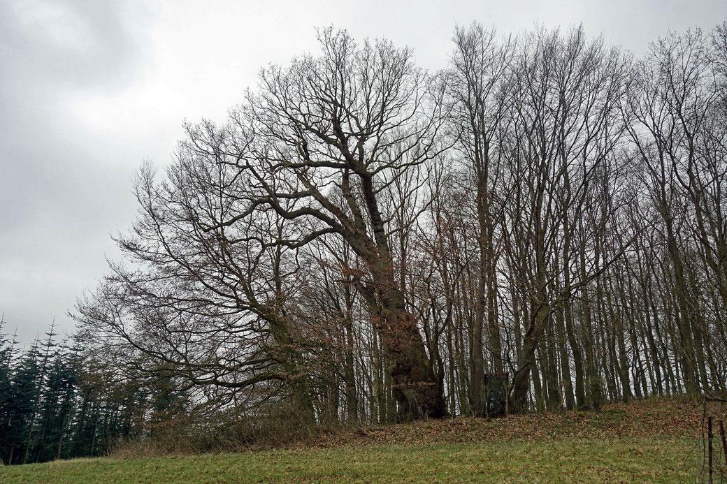 Eiche am Eisenberg bei Bauersdorf