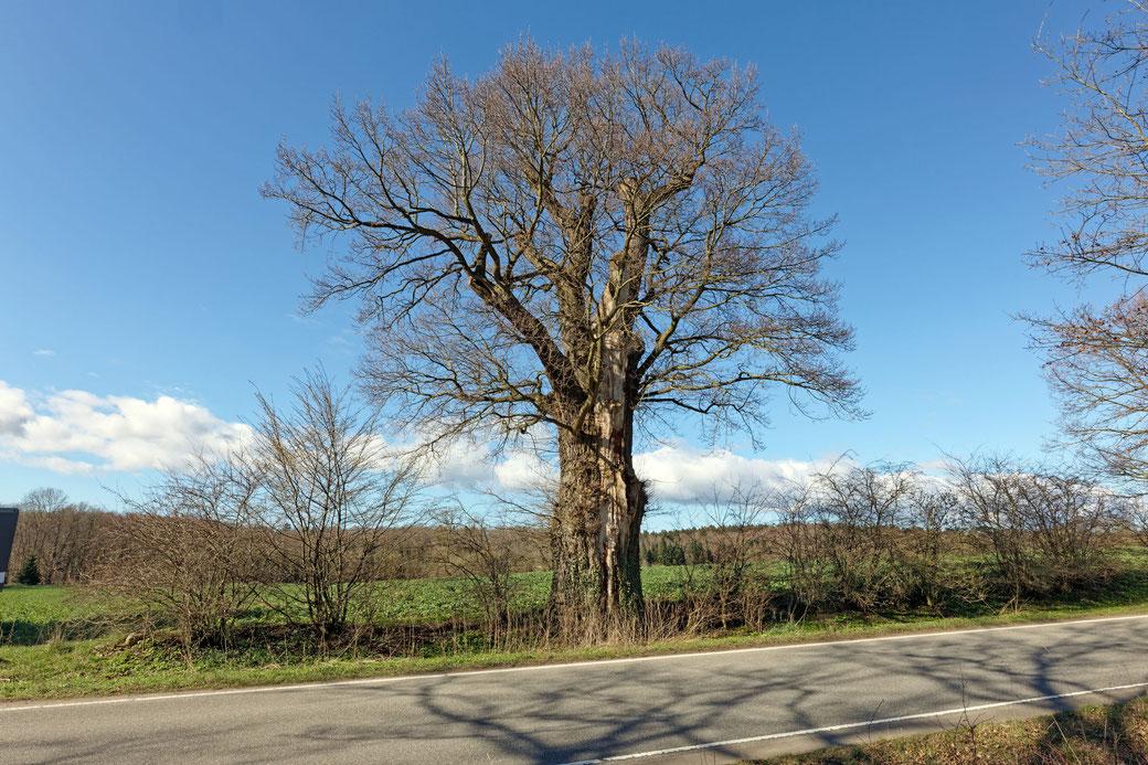 Eiche bei Neudorf