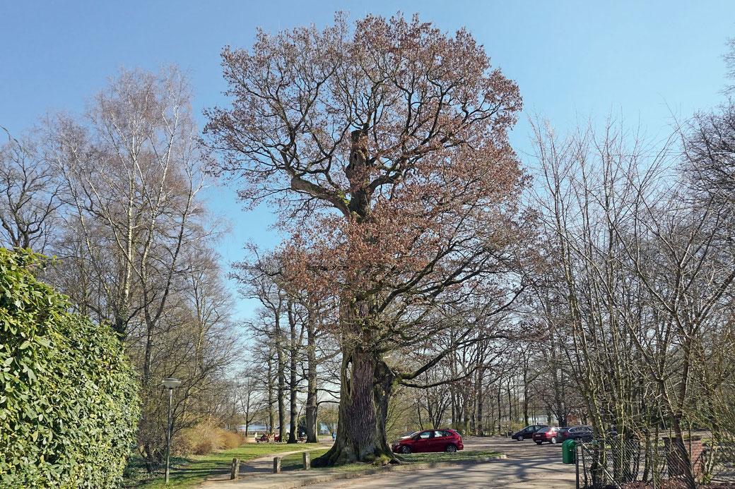 Tausendjährige Eiche in Barmstedt