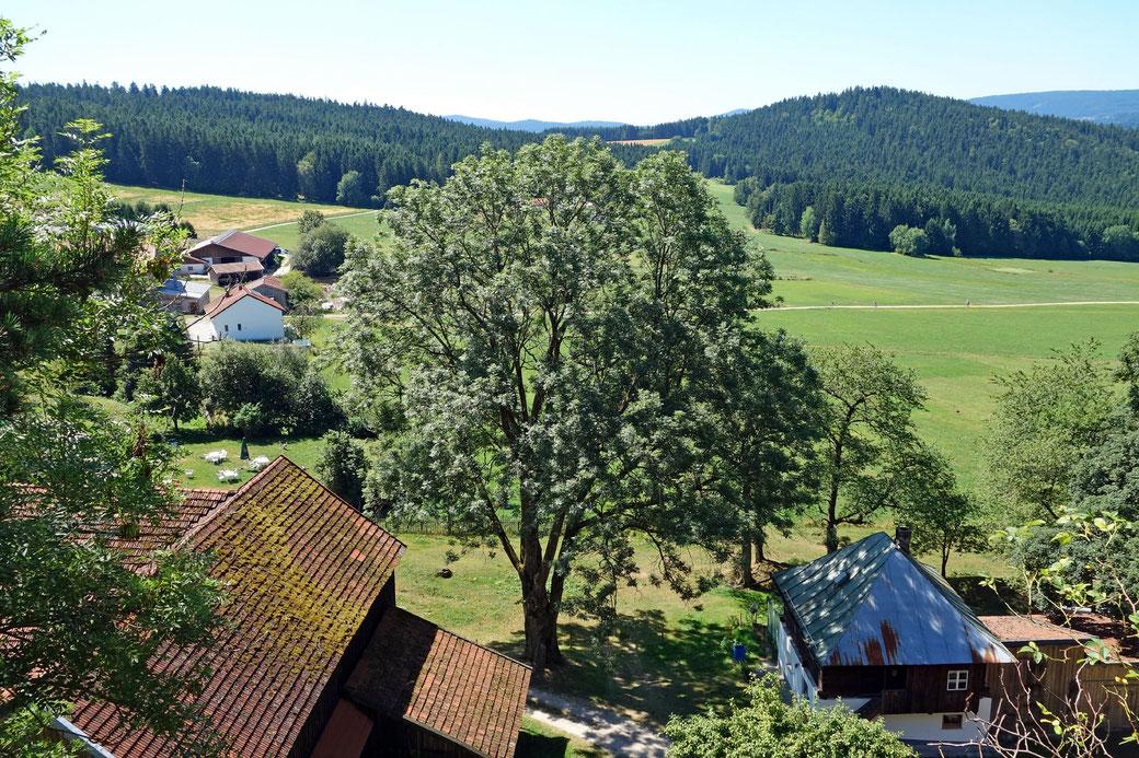 Esche bei der Ruine Weißenstein in Weißenstein