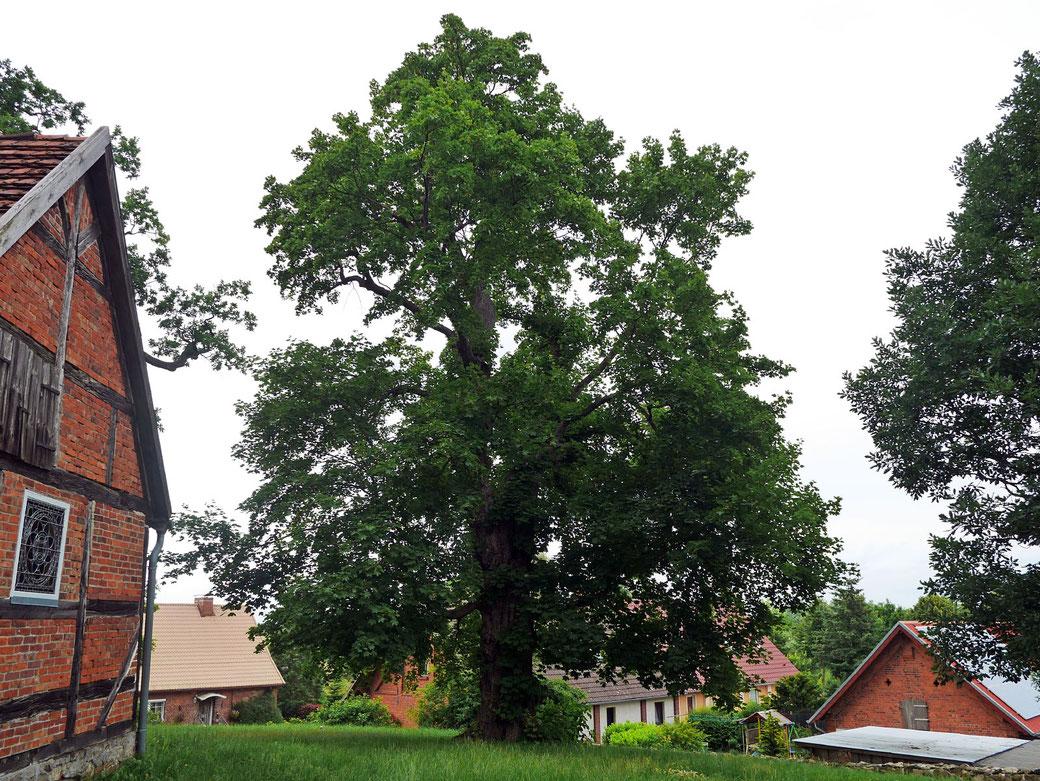 Spitzahorn auf dem Friefhof in Lüttenhagen