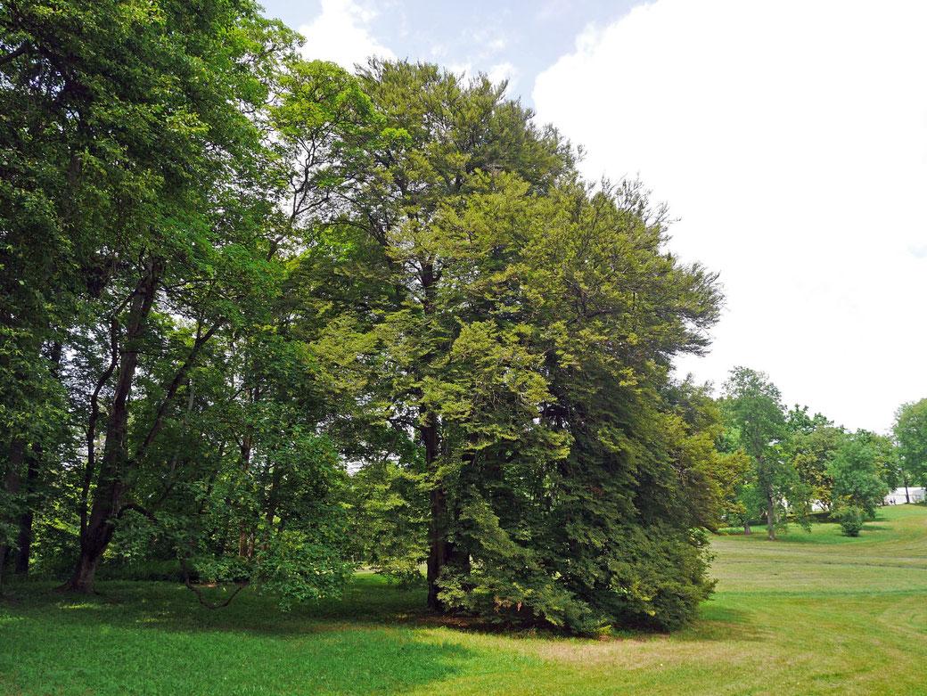 Farnblättrige Buche im Hofgarten Coburg in Coburg